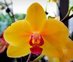 Lemon Ice, Orchid Show, Brookside Gardens IMG_6396