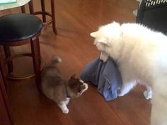 Samoyed vs. Siberian Husky - YouTube