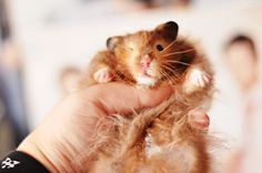 Cuddling with Beau, the cute syrian hamster, sable long-haired Photography by Christine Black/TheMadGirl