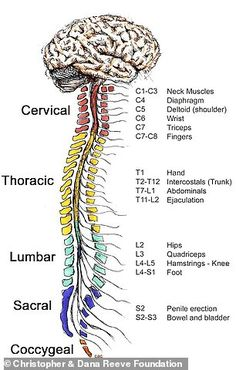The Spinal Cord and Muscles Working Together The spinal cord is divided into five sections: the cervical thoracic lumbar sacral and coccygeal regions. The level of injury determines the extent of paralysis and/or loss of sensation. No two injuries Medical Facts, Medical Information, Medical News, Medical Science, Computer Science, Nursing School Notes, Medical School, Medical Assistant School, Ob Nursing