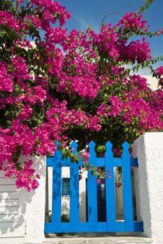 Cómo propagar plantas de buganvilla Español