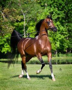 arabian stallion - Skyhawkk