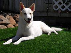 Our Canaan dog Atlas