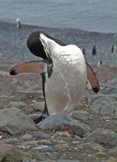 Chinstrap penguin (Pygoscelis antarctica), Half Moon Island, Antarctica by Mark Andrews