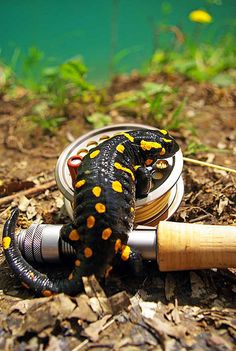 I know they are harmless, but If I saw one of these on my fly reel - I might run!