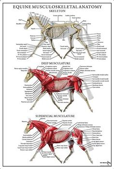 Equine musculoskeletal anatomy poster available for purchase. by madelyn