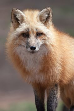 Red Fox by Russ Nordstrand on 500px