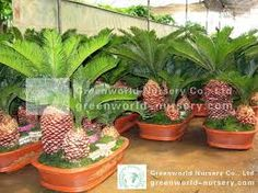 Image from http://www.greenworld-nursery.com/images/cycas%20revoluta/cycas%20bonsai%20small/max/004.jpg.