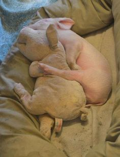 Piglet sleeping with its furry toy...