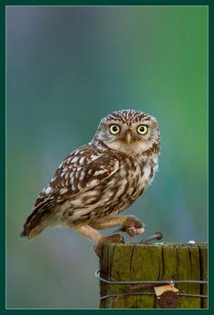 47 Superb Owls - Reality Worlds Tactical Gear Dark Art Relationship Goals Owl Photos, Owl Pictures, Beautiful Owl, Animals Beautiful, Owl Bird, Pet Birds, Eurasian Eagle Owl, Short Eared Owl, Owl Crafts