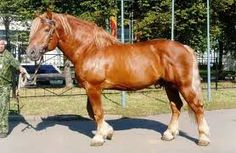 The Russian Heavy Draft is usually short and muscular, with thick manes and tails and legs that are lightly feathered. The Russian Heavy Draft has a neck that is thick and well crested, and has a docile temperament. It is agile and energetic, and is good for rough terrain. It is an easy keeper that is tolerant of the cold, and has been known to be able to pull more weight (relative to its body mass) than any of the other breeds developed during the Soviet period.
