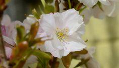 Cherriy Blossom Photograph  - Cherriy Blossom Fine Art Print