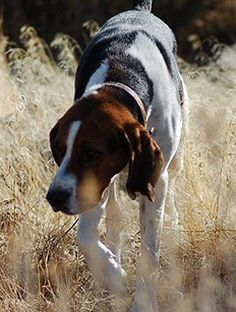 American Fox Hound Dog Photo Foxhound Breeders With Puppies Dogs For English