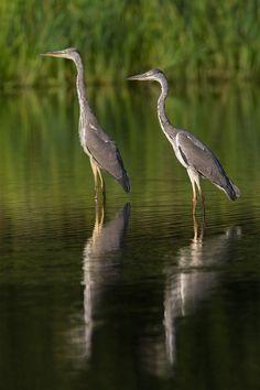 Grey Heron (Ardea cinerea) - Denmark