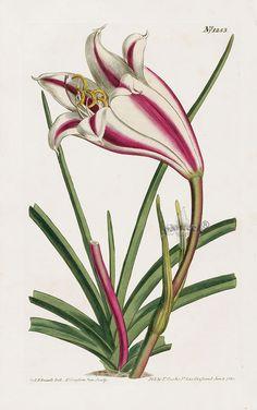 William Curtis Botanical Magazine Antique Prints 1787-1817