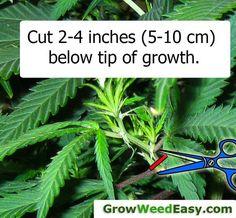 Marijuana clone Cuttings should be 2-4 inches (5-10 cm) long