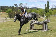 Highland McGuire ISH Stallion - Irish Sport Horse - Horsezone