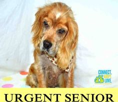 SAFE --- COOKIE (A0951104) I am a female white and tan Cocker Spaniel. The shelter staff think I am about 8 years old and I weigh 23 pounds. I was turned in by my owner and I am available for adoption. — hier: Miami Dade County Animal Services https://www.facebook.com/urgentdogsofmiami/photos/pb.191859757515102.-2207520000.1438291782./1019841541383582/?type=3&theater