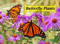 Butterfly Plants for creating a bountiful garden filled with butterflies, hummingbirds, moths, bees, and other beneficial pollinators. What butterfly flowers could you add to your garden this season? Butterfly Garden Plants, Plants That Attract Butterflies, Butterfly Flowers, Monarch Butterfly, Beautiful Butterflies, Planting Flowers, Butterfly Feeder, Flying Flowers, Butterfly Design