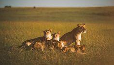 15 creative animal portraits of lions