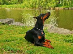sci fi doberman | Pin by Vik Klupsas on Rotties, Dobes, Shepherds, Labs and other Frien ...