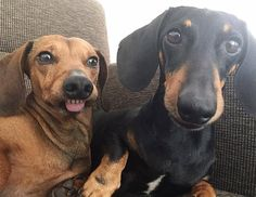 When you go crazy after your hoooman tells you it is time to go for a walk IG @ingevink #sausagedoglove #dachshund