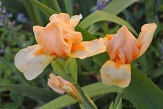 Sbd Iris Orange Starlet