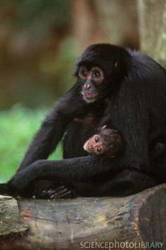 Black headed spider monkey (Ateles fusciceps)