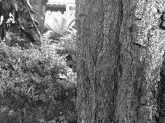 """esta imagem  apresenta uma diversidade de tons de cinzas, tons mais claros e mais escuros. Além das cores pode se observar as diferentes texturas de cada coisa, como: a arvore é um cinza mais claro e """"rajado"""" , as plantas refletem luz muito clara que diversifica muito da sua escala própria/individual. Nesta imagem, podemos observar que o foco esta no tronco, e as plantas estão de segundo plano. Cecilia Nannini"""