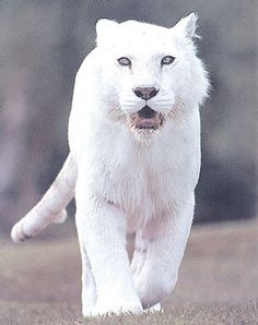 A beautiful pure white tiger... white is the color of peace.  -  worldphotocollections.blogspot.com