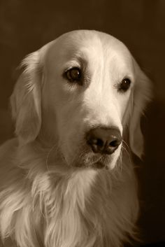A beautiful WHITE golden retriever. I want one when we are older and I want a feamle and name it Lucy.