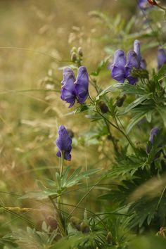 A cute flower, but poisonous plant by , Monkshood