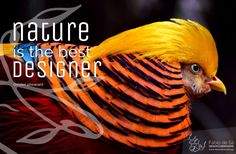 Throughout history, Nature has had a leading role as a source of inspiration for both musicians and visual artists. Nature is definately the BEST Designer. Photo: Golden pheasant  Fábio de Sá - Design & Graphisme #fabiodesadesign #naturedesign #nature #design #bird #pheasant #faisan #oiseau www.fabiodesa.design