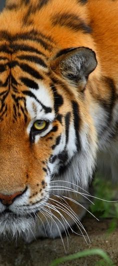 See a tiger in the wild.
