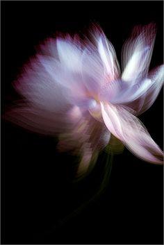 Lotus Flower / Strobed | Bahman Farzad