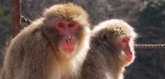Iwatayama Monkey Park in Kyoto, Japan (closed on days of heavy snow or rain - closes 4pm)