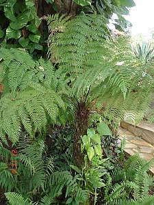 Dicksonia sellowiana, Feto-arborescente, Samambaiaçu, Samambaiaçu-imperial