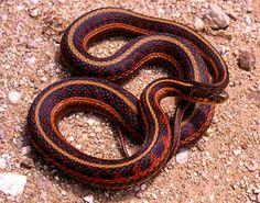 HerpNet.net - Iowa Reptiles and Amphibians - Eastern Garter Snake ...