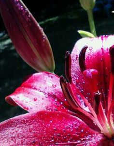 Love my Red lilies! by Holly Lynch