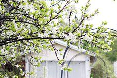 Oravankesäpesä | Luumu Prunus domestica