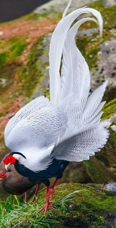 L~~~ silver pheasant (Lophura nycthemera) is a species of pheasant found in forests, mainly in mountains, of mainland Southeast Asia, and eastern and southern . Kinds Of Birds, All Birds, Love Birds, Pretty Birds, Beautiful Birds, Animals Beautiful, Majestic Animals, Beautiful Pictures, Exotic Birds