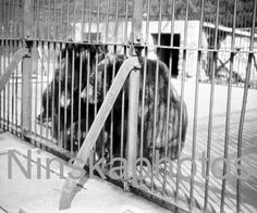 Bears at the Zoo in Stanley Park, Vancouver, Canada, 1920s antique photo reprint, vintage photography, animal photo by Ninskaphotos on Etsy https://www.etsy.com/uk/listing/384755878/bears-at-the-zoo-in-stanley-park
