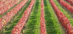 Alicante vineyards in Assisi