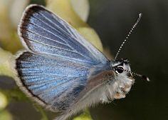 Rare Animals: Top 10 Rarest Butterflies in the World    Palos Verdes blue,  The rarest butterfly and endangered,  CA