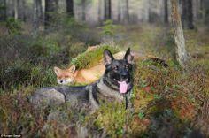 Ongewoon zicht: Om een vos en een hond te zien is als iets uit Disney's 1981 film van dezelfde naam en als dat hartverwarmende cartoon Sniffer en Tinni de relatie is net zo schattig