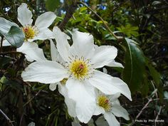 Taranaki Educational Resource: Research, Analysis and Information Network - Clematis paniculata (Puawhananga) Rock Garden Plants, Blue Garden, Garden Types, Garden Art, Garden Ideas, Clematis Paniculata, Poppy Images, Tree Borders, Kiwiana