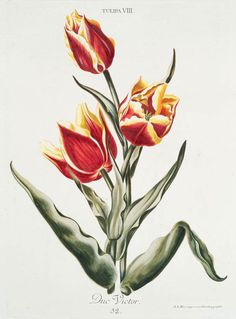 Flame tulip] free printables from nyc library. Free Printable Artwork, Free Artwork, Nyc Library, New York Public Library, New York Museums, Subway Art, Free Prints, Botanical Prints, Floral Prints