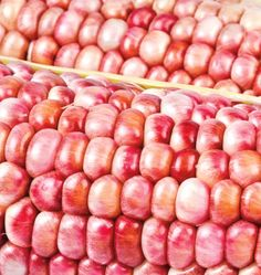 Pink Popcorn Corn Seeds are an open pollinated non-GMO corn seed for growing in your organic vegetable garden. Learn when to plant untreated corn seeds.