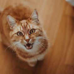 Ach das Schöni 😂 Was der raunzen kann .... aber ich bin trotzdem immer noch froh, dass er seine OP im vergangenen Juli gut überstanden hat 🥰⠀ —————————————————————————⠀ #kittensoftheday #instakittens #purrpurrpurr #cutekitty #cutecatcrew #catsoftheday #pleasantcats #magnificent_meowdels #kittenlovers #bestcat #purrfection #catloversworld #cutecatsofinsta #catsfollowers #kittensofig #dailykitten #nicestkitties #catsoftheday #catsogram #meows #meowmeow #catsrule #excellent_cats #sweetcat… Sweet Cat, Cats, Animals, Instagram, Gatos, Animales, Animaux, Animal, Cat