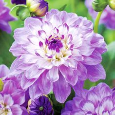 Dahlia Tubers - Blue Wish - Flower Bulbs - Gardening - Suttons Seeds and Plants